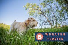 Wheaten Terrier puppies breeds, Dog Breeds