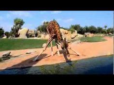 Cómo beben las jirafas - YouTube Fun Projects, Planets, Angles, Videos, Science, Youtube, Giraffes, The World, Kenya