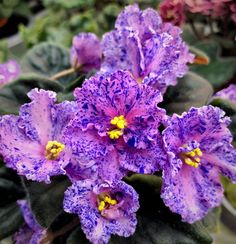 Grown by Sam Cunningham Ma's Midnight Spell 09/16/2009 (O. Robinson) Semidouble pink frilled pansy/blue fantasy. Variegated medium green and white, quilted, wavy, serrated. Standard. #fantasyviolet #AVSA #africanviolet #indoorplant #houseplant #saintpaulia #senpolia #africanvioletlovers #africanvioletsocietyofamerica #masmidnightspell Leafy Plants, Flowering Plants, Indoor Plants, Planting Flowers, Easy House Plants, Saintpaulia, African Violet, Carnivorous Plants, Natural Garden