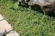 Herniaria glabra - Kaal breukkruid - vervanger van mos op stenige bodem