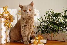 Domácí mazlíčci Cute Kittens, Cats And Kittens, Pet Gifts, Cat Lover Gifts, Cat Lovers, British Longhair, British Shorthair, American Shorthair, Exotic Shorthair