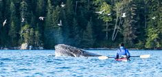 5-Day Humpback Whale Expedition | Sea Kayak Adventures