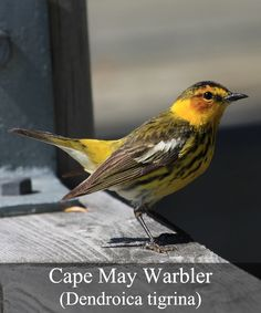The Cape May Warbler (Dendroica tigrina) is a little songbird that is found in the boreal forests of Canada, as well as in the New England area. During the colder winter months, the Cape May Warbler will migrate to the West Indies. Being only 4.25 inches in size, the most preferred food of the warbler is spruce budworms. They will also feed on other small insects. This songbird is extremely active and very energetic.