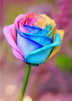 Rainbow rose - I would love to have this in my garden! Más Rainbow rose - I would love to have this in my garden! Beautiful Rose Flowers, Amazing Flowers, Pretty Flowers, Wallpaper Flower, Rainbow Wallpaper, Rainbow Flowers, Neon Flowers, Black Flowers, White Roses