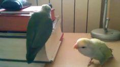 Agapornis Traviesos Parrot, Bird, Animals, Animais, Parrot Bird, Animales, Animaux, Birds, Parrots