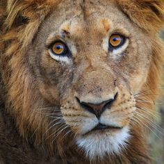 Facial expression on a young lion male from Kruger National Park, South Africa, by Mogens Trolle Scary Animals, Nature Animals, Beautiful Cats, Animals Beautiful, Lion Photography, Cat Anatomy, Gato Grande, Lion Love, Mountain Gorilla