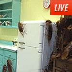 It's always dinner time for this family of American Cockroaches in New Orleans.  Check out Cockroach Cam on APL!VE.