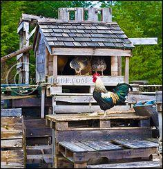 Raising chickens, ducks, & geese