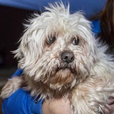 Avery is about 7 years old and 21 pounds #lhasaapso #puppy. http://www.doggielife.com/avery/dogs/SXHDIV