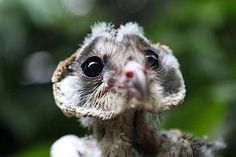 : Baby barn owl is ready for its close-up at Singapore's Jurong Bird Park