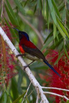 Birds in Thailand: Black throated Sunbird