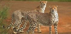 If you are planning to utilize your holidays and want to spend some good and memorable time with your family. Our East Africa adventure tours and safaris in Kenya are always ready to make your trips enjoyable in Kenya, where snow capped mountain, Great Rift Valley, and the adventurous wildlife will make your experience better.