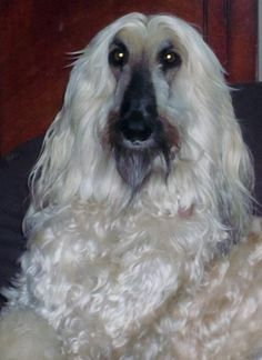 The Afghan Hound...this is Jasper