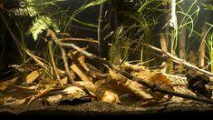 Ideas and Tips for a Better Aquarium Tank Biotope Aquarium, Aquarium Terrarium, Home Aquarium, Planted Aquarium, Tropical Freshwater Fish, Freshwater Aquarium Fish, Tropical Fish, Aquascaping, Aquariums