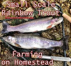 Small Scale Rainbow Trout Farming on Homestead Homesteading  - The Homestead Survival .Com
