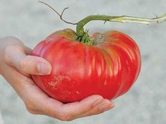 Brandywine, Pink Tomato | favorite tomato in the garden!  Slow starter but delicious in the end