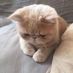 おはようございマッシュ! どうか恵まれないマッシュに お恵みを…こちらにカリカリお願いしマッシュ! #なんの遊び #さっき食べたやろ #嘘はあかん #mashbook #mash1126a #cat #マッシュ #エキゾチックショートヘア #ねこ #ネコ #猫 #neko #猫部 #ねこ部 #ねこあつめ #にゃんだふるらいふ #猫バカ #catstagram #ExoticShorthair #kitty #catsofinstagram