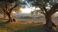 Our olive grove at sunset