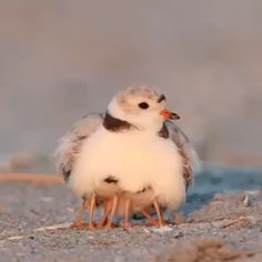 Piping plover mama with her floofs - Funny Duck - Funny Duck meme - - The post Piping plover mama with her floofs appeared first on Gag Dad. Cute Birds, Pretty Birds, Beautiful Birds, Animals Beautiful, Animals Amazing, Cute Little Animals, Little Birds, Cute Funny Animals, Nature Animals