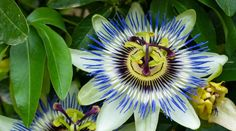 Flowering Vines: A Guide to Fast-Growing Climbers Passion Flower Passiflora are one of the craziest Small White Flowers, Elegant Flowers, Orange Flowers, David Austin Climbing Roses, David Austin Roses, Fast Growing Climbers, Creepers Plants, Easy To Grow Bulbs, Black Eyed Susan