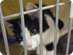 Zanesville, OH - Domestic Shorthair. Meet 40266 @ We Luv Pets, a kitten for adoption. http://www.adoptapet.com/pet/12266034-zanesville-ohio-kitten