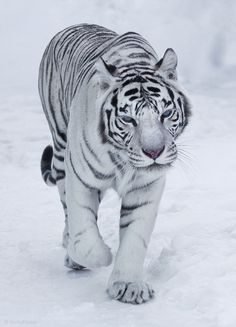 Bengal tigress | snow, tiger. One of the most beautiful creatures ever made.