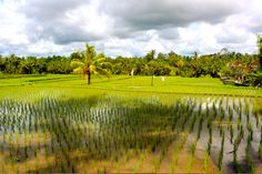 Ricefield - #Ubud,   #Bali