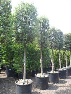 Koop nu de Steeneik (Quercus ilex) v.a. € 123,33 p/st bij Directplant! ✓Voordelige staffelprijzen ✓Lage verzendkosten ✓45 gratis afhaalpunten