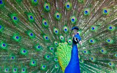 free screensaver wallpapers for peacock - peacock category