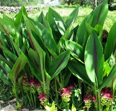 Geelwortel, kurkuma, de helende 'magische wortel'..! De 'Curcuma Longa', ook een prachtige plant in de (zonnige) tuin..