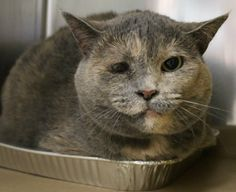 ADOPTED>Intake: 6/26 Available: Now  NAME: Pixie ANIMAL ID: 28231862 BREED: DSH  SEX: Spayed Female  EST. AGE: 7 yrs  Est Weight: 14.4 lbs  Health: Something wrong with eye will most likely need to be removed!  Temperament: Friendly- Sweet girl just scared here!  ADDITIONAL INFO: O/S  RESCUE PULL FEE: FREE!!
