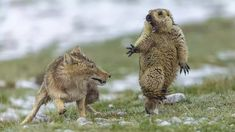 """""""Chinese photographer Bao Yongqing's picture """"The Moment,"""" taken on the Qinghai-Tibet Plateau, has won the Natural History Museum's Wildlife Photographer of the Year competition. (Pic: Bao Yongqing/Wildlife Photographer of the Year)"""" Wild Life, Photography Awards, Wildlife Photography, Animal Photography, Wild Photography, Popular Photography, Tibetan Fox, Grand Prix, Nature Photography"""