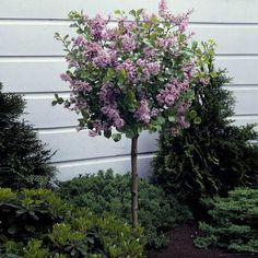 5 Perfect Small Garden Design for Your Home - Pay attention to the details! Find the best idea of a small garden design for you here and create a high-class outdoor retreat. Dwarf Korean Lilac Tree, Dwarf Lilac Tree, Dwarf Flowering Trees, Dwarf Shrubs, Hedge Trees, Dwarf Trees For Landscaping, Backyard Landscaping, Front Yard Landscaping Plans, Backyard Plants
