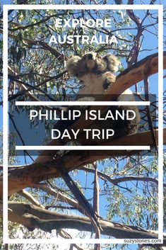 Explore Phillip Island to experience a koala sanctuary, The Nobbies, and the famous penguin parade at sunset, all rounded off with a beautiful drive from Melbourne city centre. A must-do when visiting Victoria, Australia! Australia Destinations, Australia Travel Guide, Visit Melbourne, Melbourne Australia, Sitting In A Tree, Phillips Island, Visit Victoria, One Day Trip, New Zealand Travel