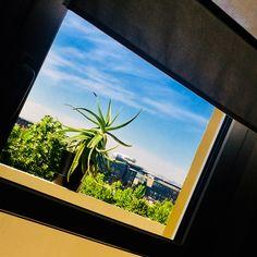 Aloe Vera in the window