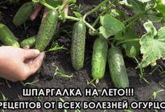 Шпаргалка на лето: 5 рецептов от всех болезней огурцов - Jemchyjinka.ru