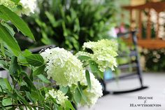 How to grow and care for your Limelight Hydrangea. A beautiful deciduous shrub for your garden which is very forgiving and easy to grow. Landscaping Around Patio, Landscaping Ideas, Limelight Hydrangea, Hydrangea Types, Late Summer Flowers, Outdoor Fairy Lights, Growing Peonies, Black Eyed Susan, Garden Projects