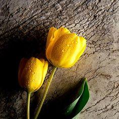 Yellow Wallpaper: Get most beautiful best Yellow Flower Wallpaper HD for desktop, mobiles, iPhones… Yellow Tulips, Tulips Flowers, Tiny Flowers, Cut Flowers, Color Yellow, Beautiful Flowers Pictures, Beautiful Flowers Wallpapers, Flower Pictures, Hd Wallpaper Desktop