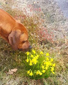 Kingsley (@rr.kingsley) • Instagram-bilder og -videoer First Day Of Spring, Spring Is Here, Welcome Spring, Labrador Retriever, Dogs, Animals, Instagram, Labrador Retrievers, Animales