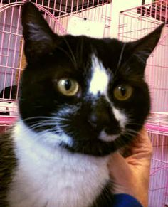 Lana - I am a playful, 4yr old female rescue.  I am feisty, yet affectionate (on my own terms). I get along with other cats, BUT NOT a fan of DOGS.   ADOPT ME!  http://www.animalkind.info/content/Adoption_Application/Adoption_Application