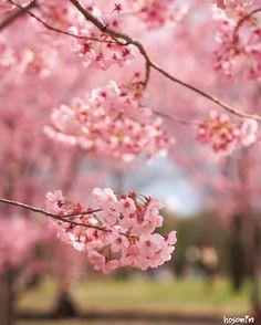 おはようございます(    )ノ  #hosomin #ヨウコウザクラ #桜#cherryblossom #spring #春  #team_jp_春色2016  #はなまっぷ桜 #大阪 by hosomin