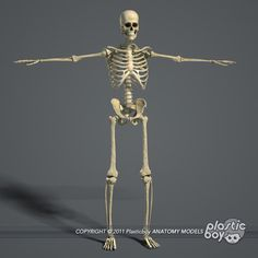 Anatomy - Skeletal System (Textured) Model available on Turbo Squid, the world's leading provider of digital models for visualization, films, television, and games. Human Anatomy Model, 3d Anatomy, Anatomy Models, Medical Anatomy, Anatomy For Artists, Skeletal And Muscular System, Skeleton System, Female Skeleton, 3d Human