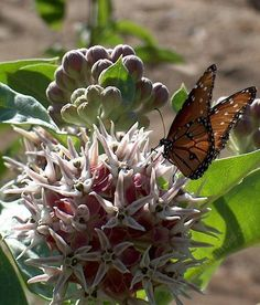 Hummer/butterfly garden: Showy Milkweed is a perennial, with three foot tall stems and large gray five inch leaves. One plant can form a large clump by its spreading rhizomes. It needs sun. It is quite drought tolerant,(not in the same league though as Asclepias A. eriocarpa, erosa or californica ) plant, water well first summer and ignore. Tolerates alkaline soils and most gardens. Needs cross-pollination for fruit and seed development. Pollen is self-incompatible.
