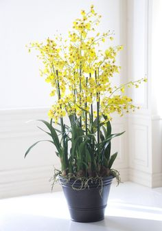 YELLOW DANCING ONCIDIUM ORCHIDS from Winward Home