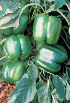 Grow the largest open-pollinated Jupiter bell pepper from our Non-GMO seeds in 70 days. Starting at $1.99 a pack and comes with the cheapest shipping on the web!