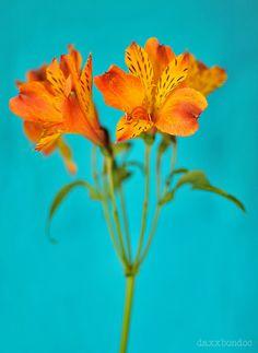 Orange Alstroemeria | Flickr - Photo Sharing!