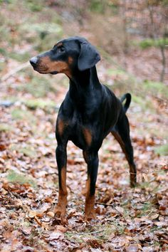 All natural Doberman. Ears and tail.