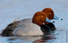 The Redhead (Aythya americana) is a medium-sized diving duck.  The adult male has a blue bill, a red head and neck, a black breast, and yellow eyes. The adult female has a brown head and body and a darker bluish bill with a black tip. The breeding habitat is marshes and prairie potholes in western North America.