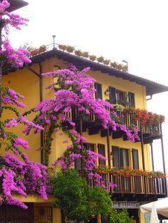 Bougainvillea Bonsai trees in Majorca, Spain - חיפוש ב-Google