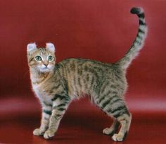 American Curl breed - short hair silver tabby